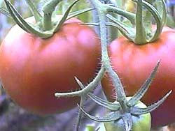 紅光の完熟トマト